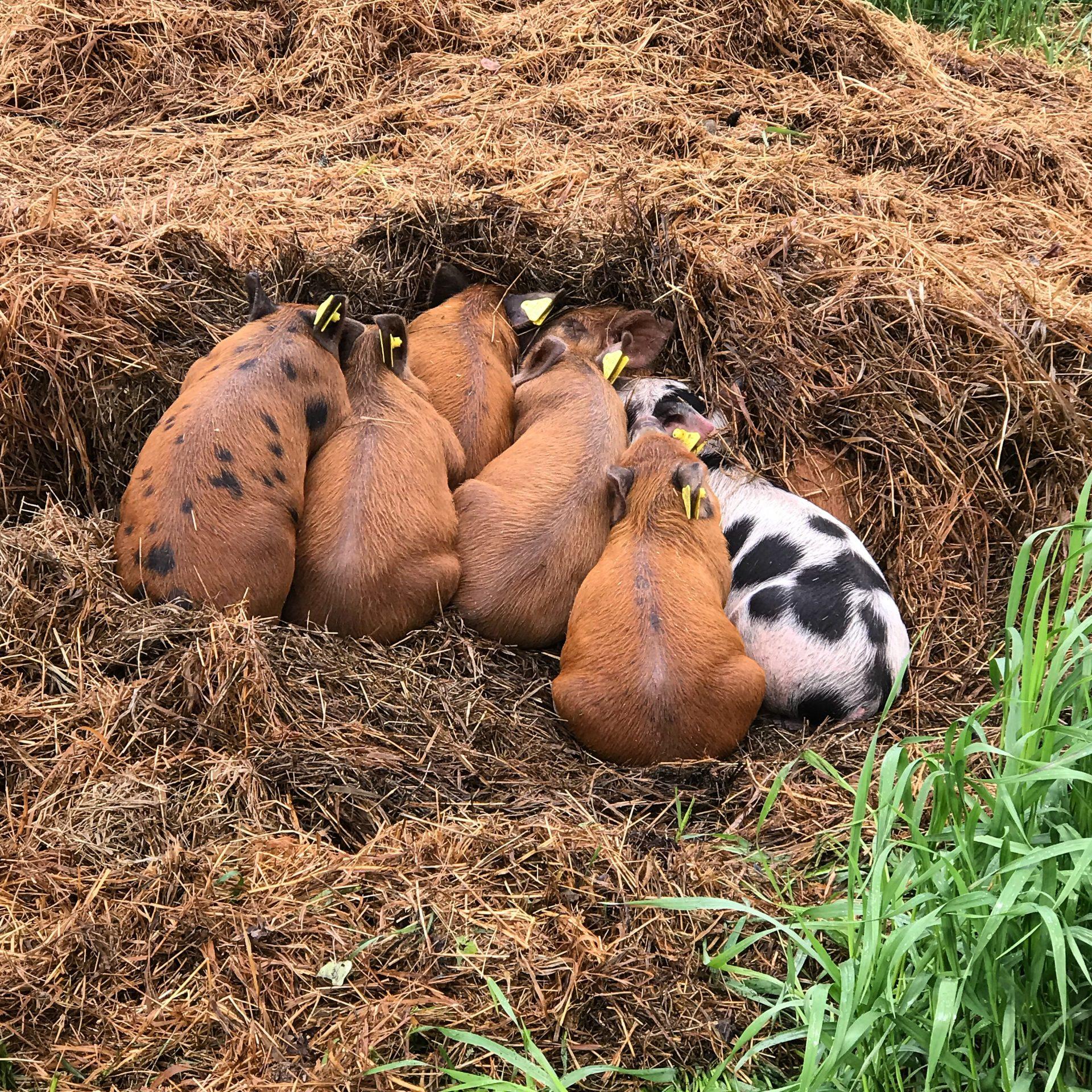 Whiskey Creek Ranch - piglets