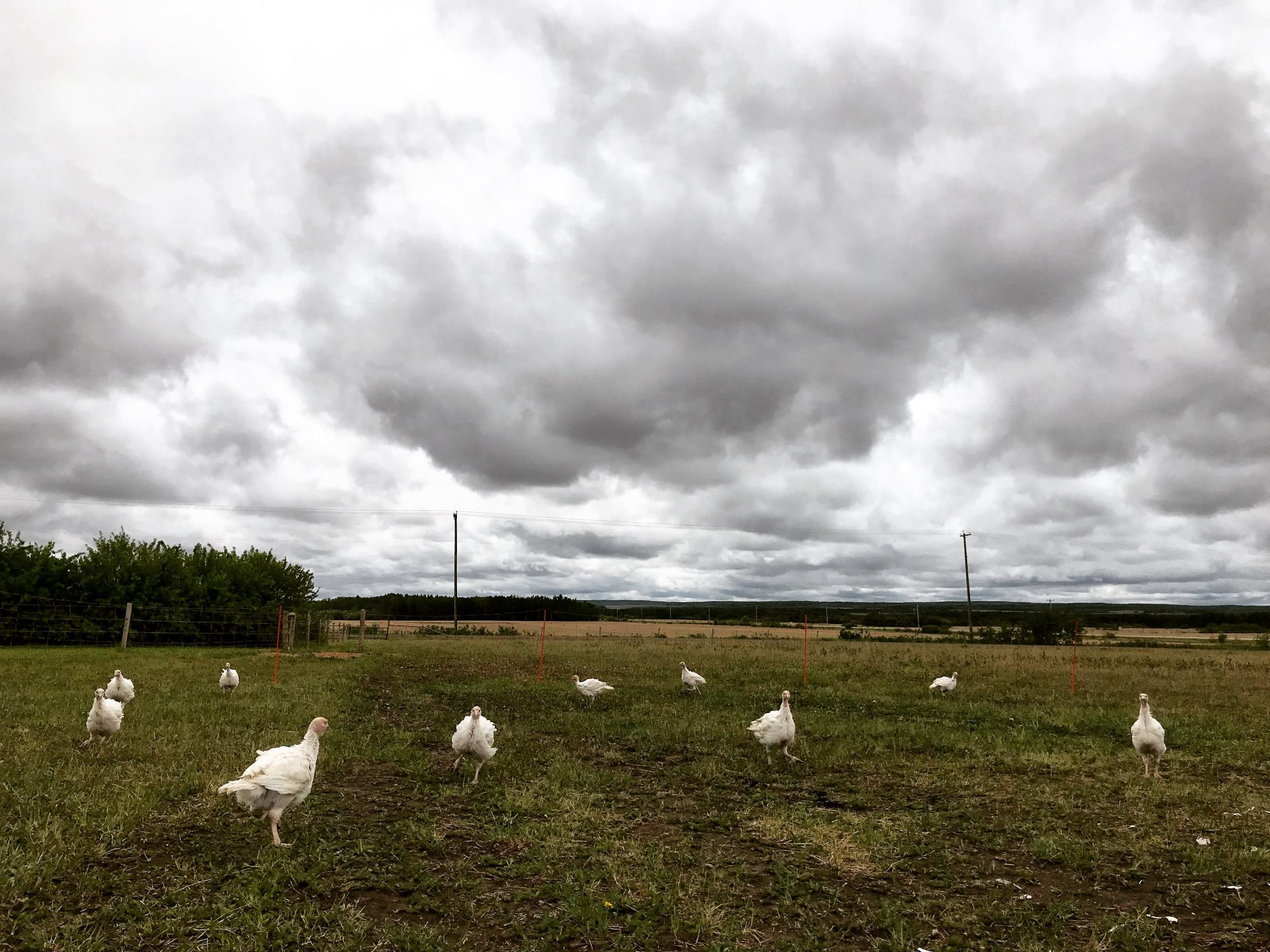 Whiskey Creek Ranch - Turkey poults under stormy skies