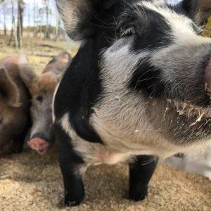 WCR - piggy